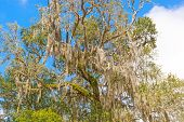 foto of tillandsia  - Spanish Moss is a Southern Tree in Florida - JPG