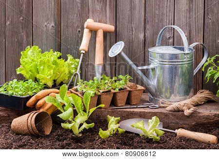 Seedlings of lettuce with gardening tools outside the potting shed