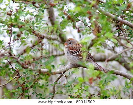 Field Sparrow Perched on a Branch