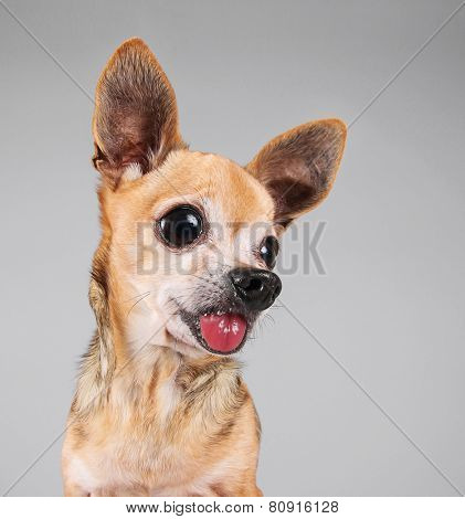 a chihuahua on a gray background with large eyes and ears sticking his tongue out