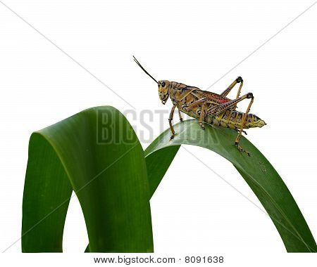Grasshopper isolated on white