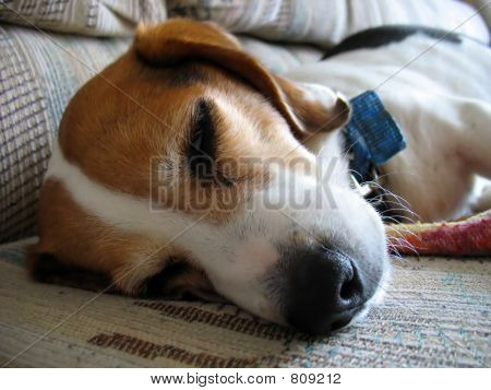 Sleepy Beagle