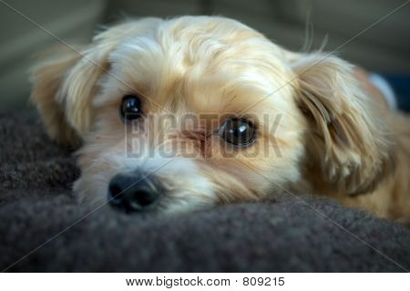 Yorkie and Shih Tzu puppy