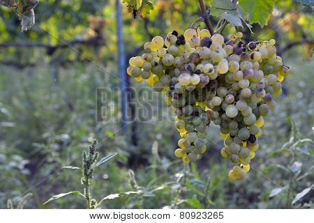 Muscat Grapes On The Vine