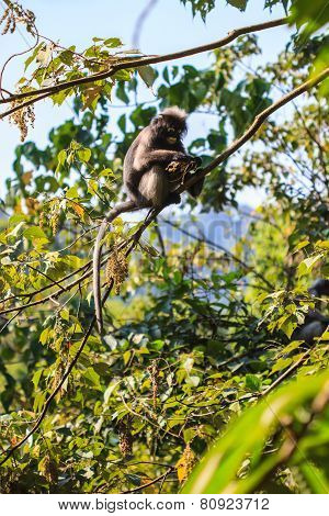 Dusky Langur sitting on tree branch