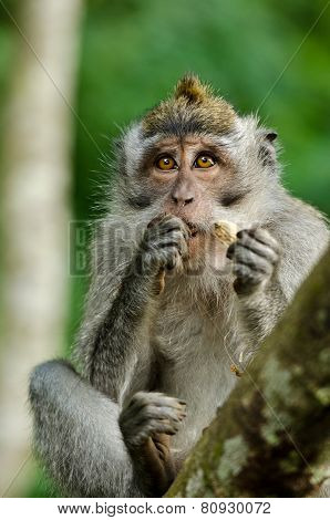 Young Monkey In Monkey Forest On Bali