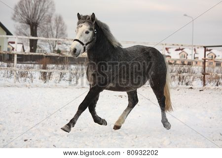 Dark Gray Pony Trotting In The Snow