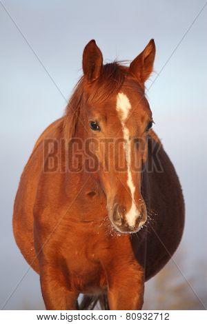 Chestnut Foal Portrait On Sky Background