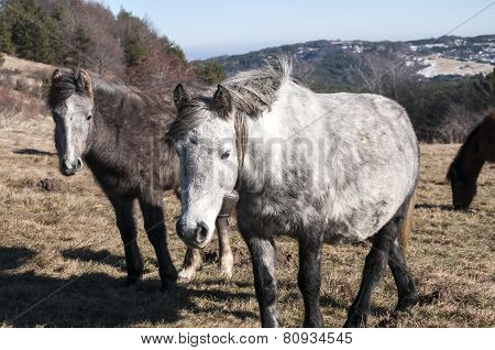 Mules on winter meadow