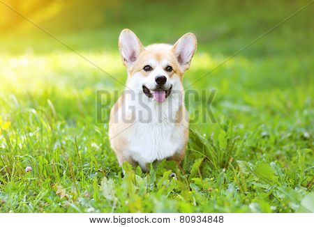 Sunny Dog Welsh Corgi Pembroke On The Grass