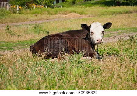 Cow On The Grass