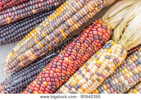 Indian Corn- Colorful Corn-on-the-cob