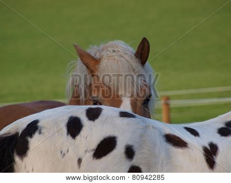 Brown And Piebald Horse