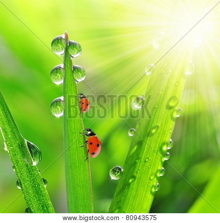 fresh morning dew and ladybirds
