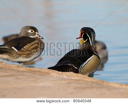 Wood Duck staring at plain duck