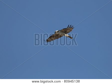 Soaring Osprey on the hunt
