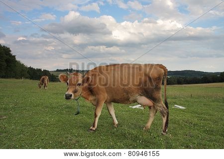 Cows Grazing On A Summer Pasture