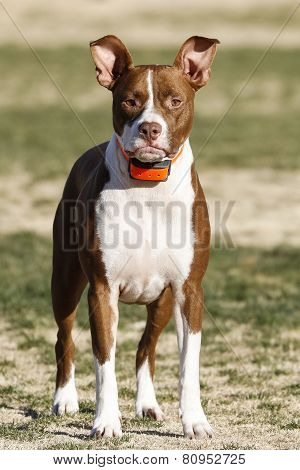Pitbull puppy posing at the park