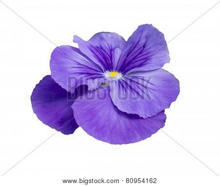 Pansy flower closeup isolated on white