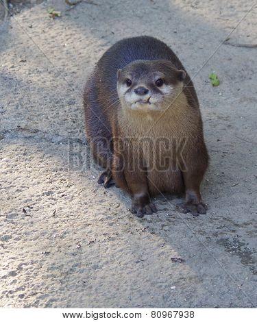Single Otter.