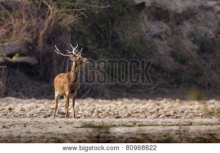 male barasingha at Bardia, Nepal