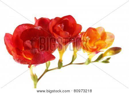 Beautiful freesia flowers, isolated on white