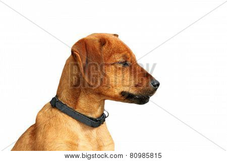 Cute Beige Doggy Over White