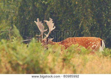 Majestic Fallow Deer Buck