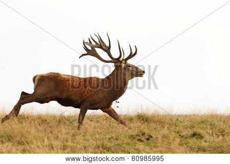 Male Cervus Elaphus On The Run