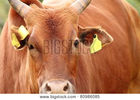 Portrait Of A Big Zebu