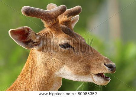 Young Fallow Deer Buck Portrait
