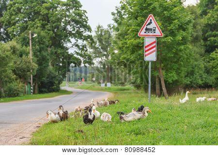Ducks walking at railway crossing background