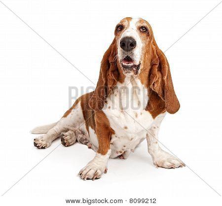 Female Basset Hound Dog Isolated On White