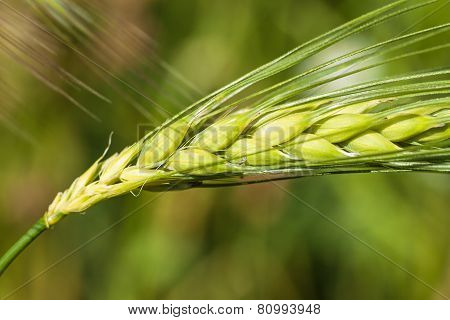 Head Of Grain