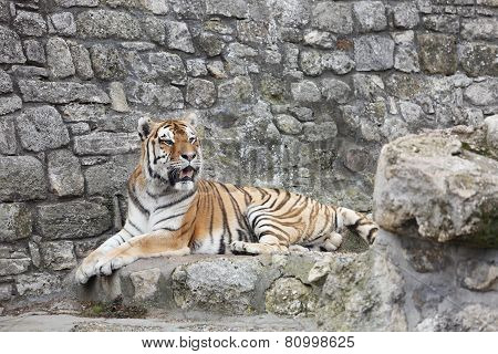 Siberian Tiger In His Territory