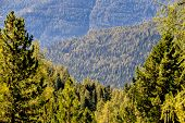 image of coniferous forest  - view over coniferous forests - JPG