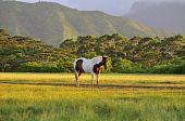 picture of appaloosa  - beautiful appaloosa horse feeding in a Kauai ranch at sunset - JPG