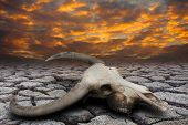 foto of drought  - Buffalo skull in hot and drought disaster land - JPG