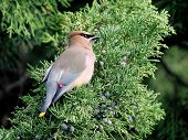 stock photo of juniper-tree  - A Cedar Waxwing  - JPG