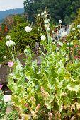 foto of opium  - Colorful Opium poppy field - JPG