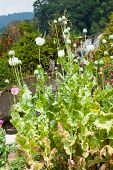 picture of opiate  - Colorful Opium poppy field - JPG