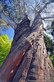 foto of plant species  - Christchurch Botanical Gardens New Zealand is the home of this majestic tree established in 1868 the garden mixes native forest with planted species - JPG