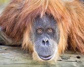 stock photo of orangutan  - Adult orangutan staring intently at the camera - JPG