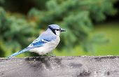 pic of bird fence  - Beautiful bird blue jay on an old wood fence - JPG