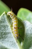 picture of larva  - Close up white with yellow stripes caterpillar eating leaf of calotropis - JPG