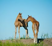 stock photo of foal  - foals on a hill playing in a summer - JPG