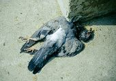 image of avian flu  - Birds died a broken neck from the crash cement - JPG