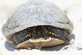 picture of terrapin turtle  - shy european pond turtle  - JPG