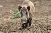 stock photo of wild hog  - wild boar coming towards the camera  - JPG