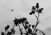 foto of bumble bee  - Bumble bee and Thistle black and white silhouettes - JPG